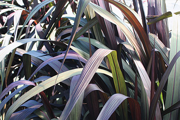 Vertigo Purple Fountain Grass
