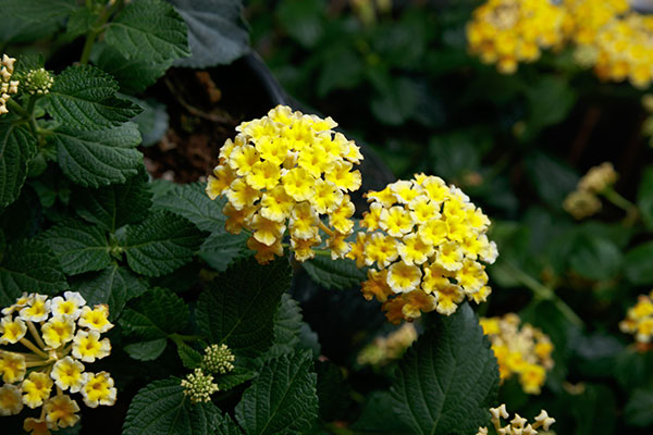 Lantana Landmark Yellow