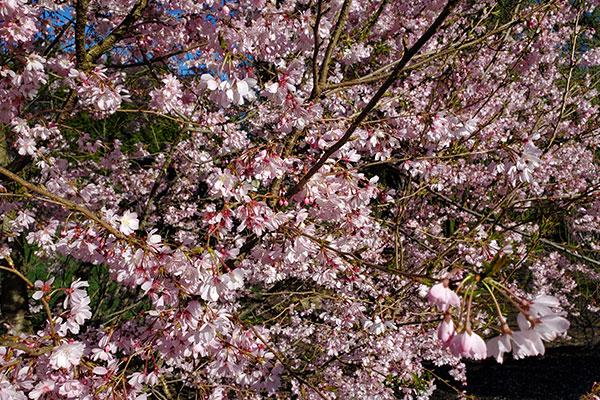Autumn Flowering Cherry