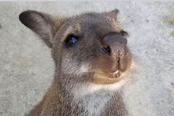 Eden Zoo Wallaby